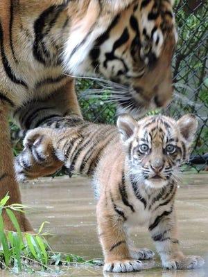 The Sumatran tiger cub at the Jackson Zoo.
