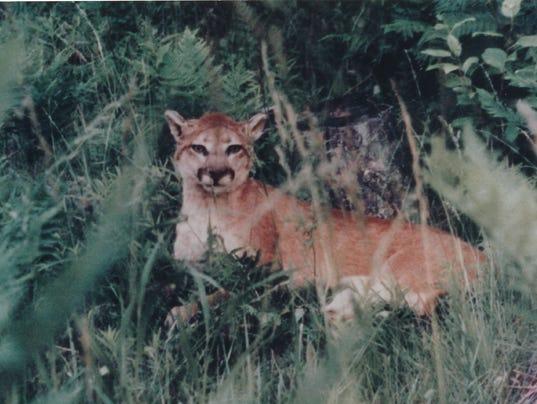 636351903608734188-cougar.jpg