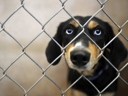 A dog in her cage at the Abilene Animal Shelter in