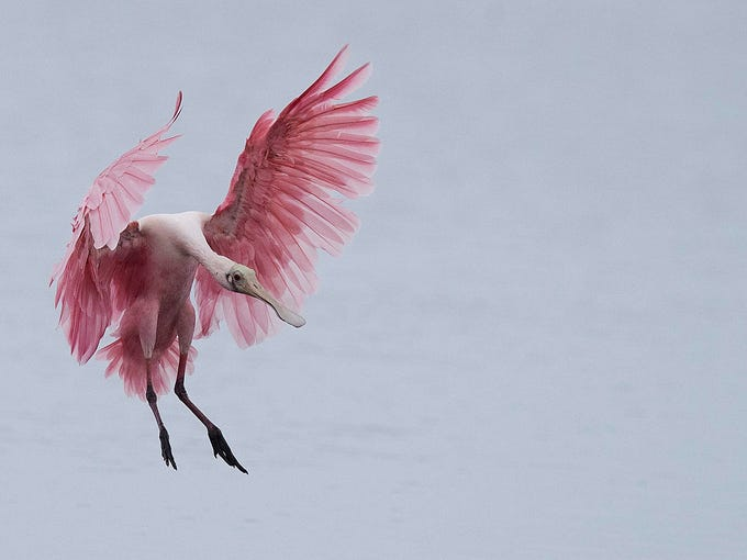 """A roseate spoonbill comes in for landing at J.N. """"Ding"""""""