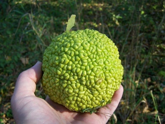 The Osage orange fruit is  also known as the hedge apple, horse apple, monkey brain and bodark.
