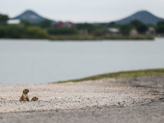 Prairie dogs congregate near the opening of their burrow