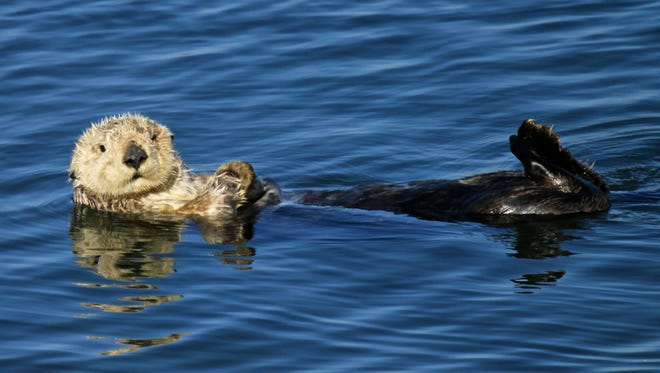As sea otters age, they tend to become more grizzled. This otter is an adult, possibly an older adult.