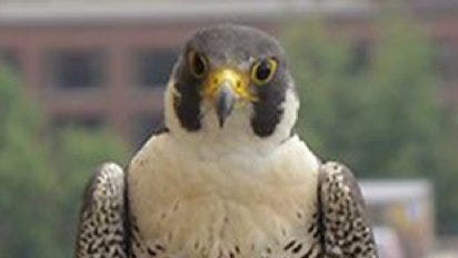 Thunderbolt is a peregrine falcon who lives on the roof of the University Hospital at the University of Michigan. A peregrine falcon was rescued from a bridge in Grand Rapids.