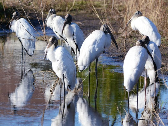The wood stork can snap its bill closed when feeding 13 times faster than the blink of the human eye.