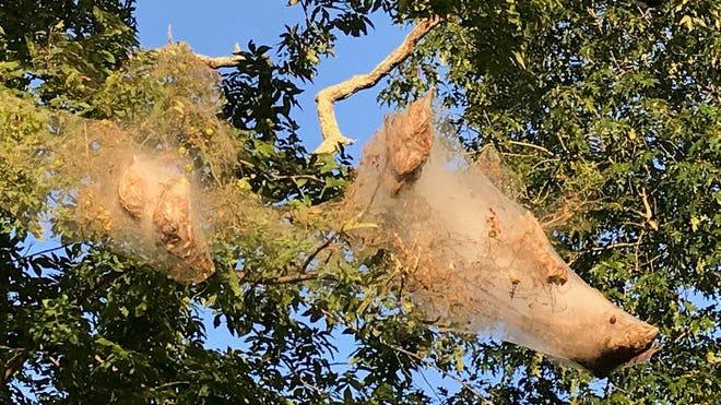 Fall webworms are pictured here in a tree. SUSAN MARTIN/ YDR