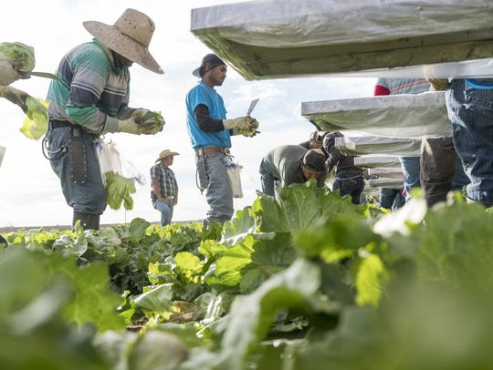 Farm workers harvest iceberg lettuce at JV Farms in
