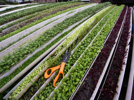 Micro greens, which are used as garnish, are grown