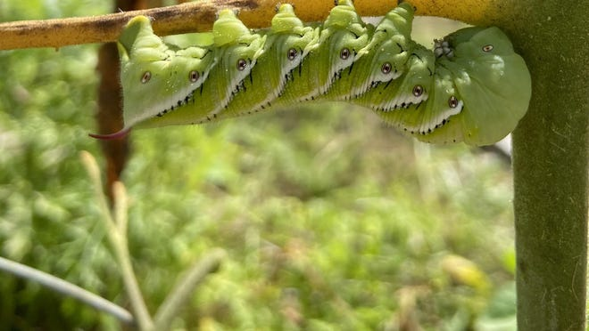 "The Tobacco Hornworm caterpillar has seven diagonal stripes on its sides and a usually orange, pink or red ""horn"" on its tail end."