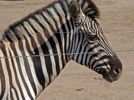 Jasmine is a Grant's zebra living at the Monterey Zoo