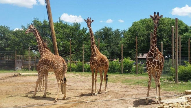 Asha, Sunny and Jamie, giraffes at the Abilene Zoo, are expecting calves later this year or early next year.