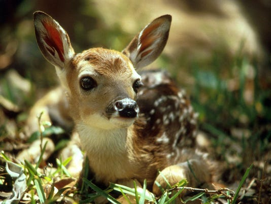 0603fawns01