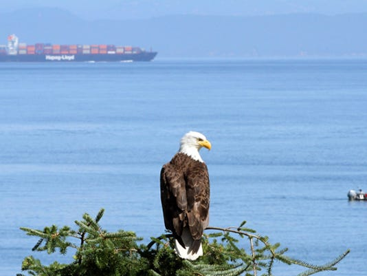 A bald eagle looks out over the Strait of Juan de Fuca at the Salt Creek Recreation Area in Port Angeles, Wash. on Saturday, July 13, 2013. (MEEGAN M. REID / KITSAP SUN)