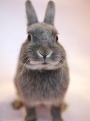Toby the rabbit, one of the foster bunnies rescued