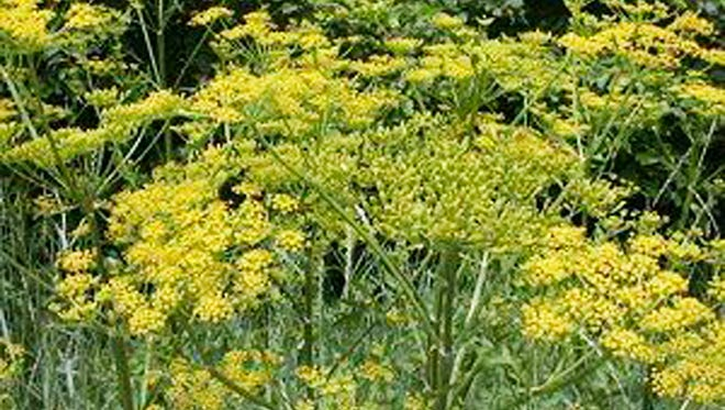 This July 2018, photo provided by Charlotte Murphy shows poison parsnip in Bennington, Vt. Murphy was left with severe burns and blisters on her legs after encountering the invasive species of plant in Vermont. (Charlotte Murphy via AP) ORG XMIT: NYHK304