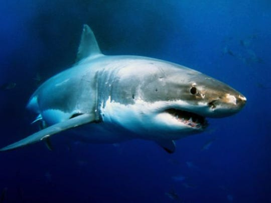 Stock photo of a great white shark.