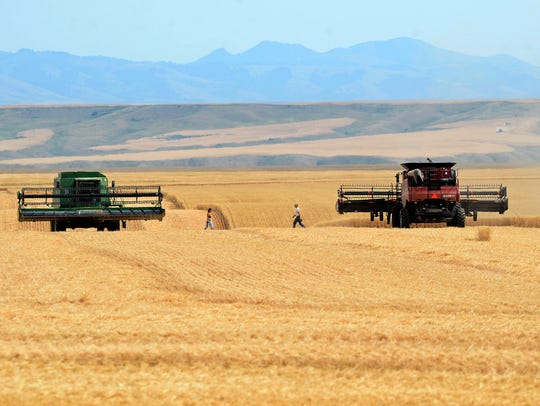 Wheat harvest underway east of Great Falls in August.
