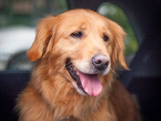 Sky the Golden Retriever arrived in the United States on Sunday and then enjoyed a ride to her new home in Southwest Florida.