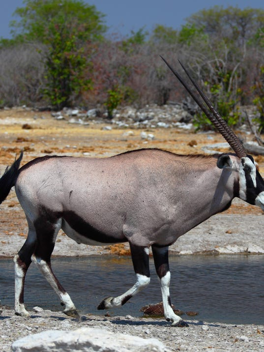 Oryx transplanted in new mexico for New mexico game and fish login
