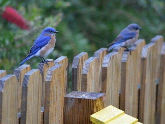 Blue-birds-005-1-1-VTHM68A5-L989751682-IMG-Blue-birds-005-1-1-VTHM68A5.jpg