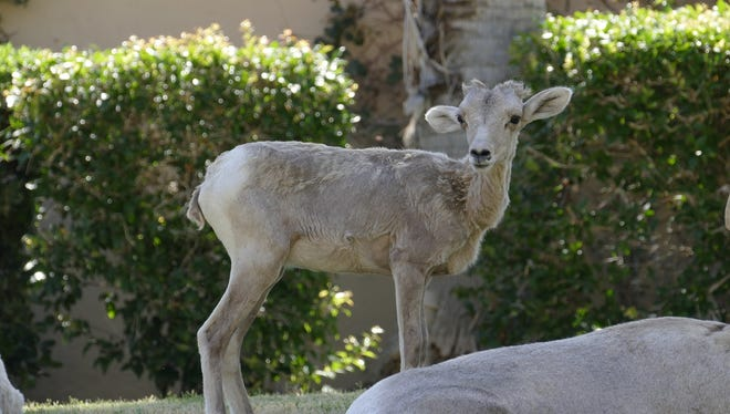 Four bighorn lamb deaths have been reported in La Quinta since May 6. Two of the deaths have occurred at PGA West while the most recent two have happened at SilverRock golf resort.