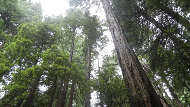 "Nick Petrie's novel ""Burning Bright"" includes thrilling scenes set among California redwoods."