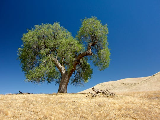 A blue oak tree stands in the Tehachapis Mountains  in Kern County, Calif. This tree species is sensitive to winter precipitation and was used to reconstruct the Sierra Nevada snowpack over the last 500 years.