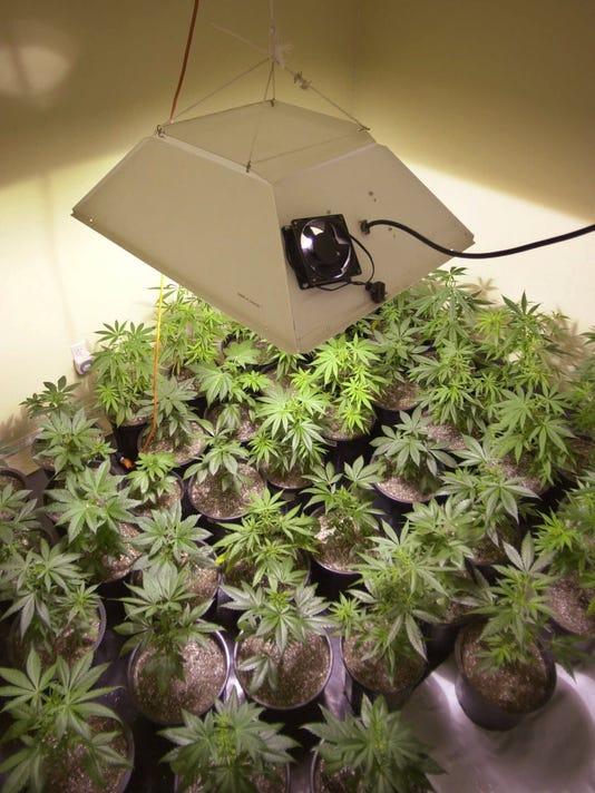 MARIJUANA PLANTS MOTHER ROOM