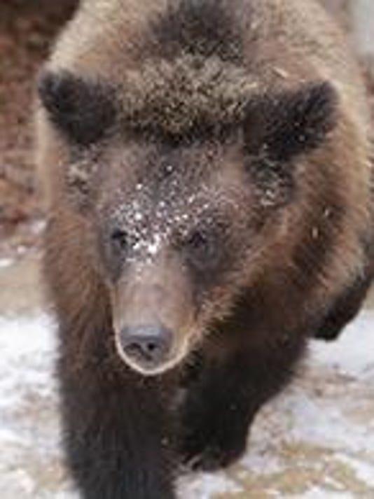 montana bear