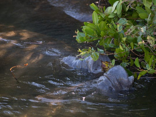 Manatees mill around in Willoughby Creek on Monday,