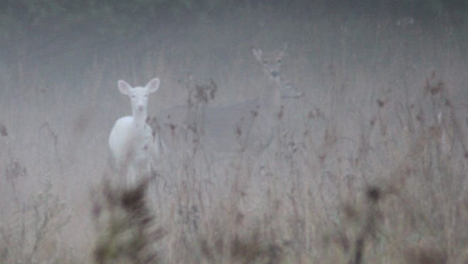 An albino deer outshines other normal-colored deer in a foggy field in October 2013 in Wood County, Wis.