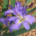 Louisiana irises are found around the world.