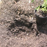 The second step in planting a rose is to place the rose in the planting hole with the top of the soil around the roots even with the soil in the garden bed.