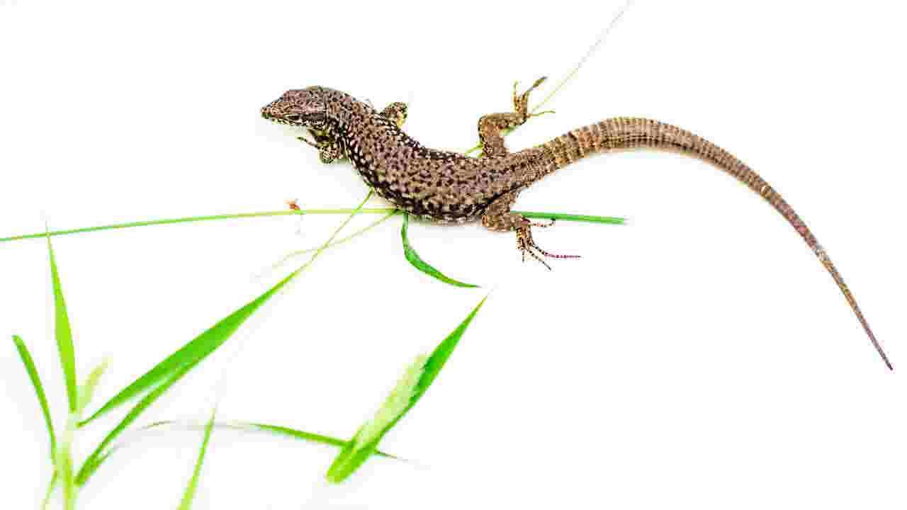 these lizards are just about everywhere in cincinnati here s why
