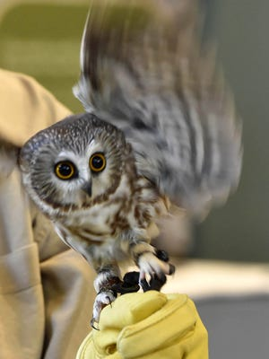 An adult Northern saw-whet owl named Cocoa was among those that appeared at Owl-O-Rama last year at The Ridges Sanctuary.