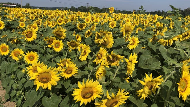 A field of sunflowers may welcome rain, which is possible in areas of the Finger Lakes region on Saturday and Sunday.