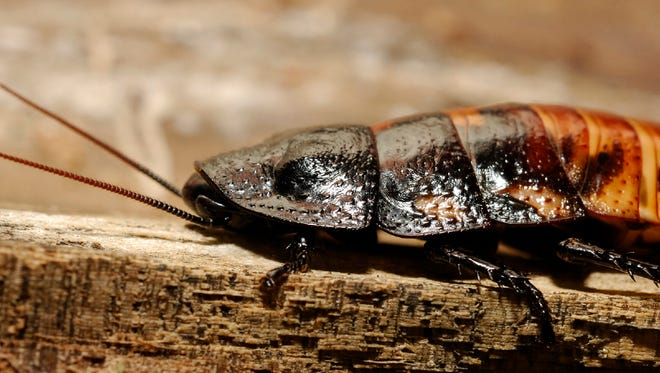 Cockroaches rarely take flight. But, when they do, temperatures must be high.
