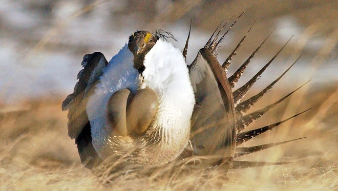 """A male sage grouse performing his """"strut."""""""