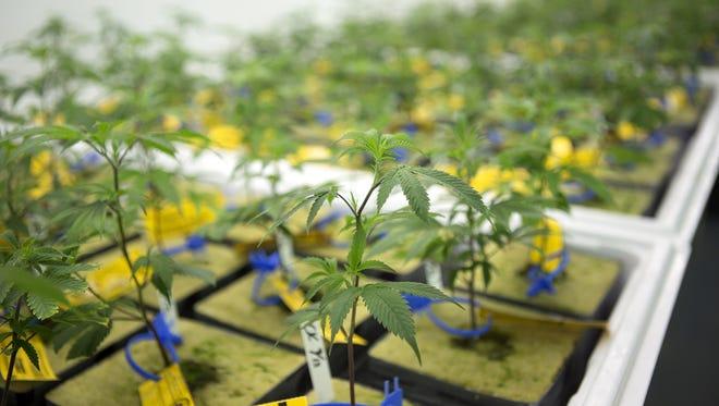 Marijuana plants at Infinite Wellness Center medical and retail marijuana shop in Fort Collins Monday, Sept. 8, 2014.