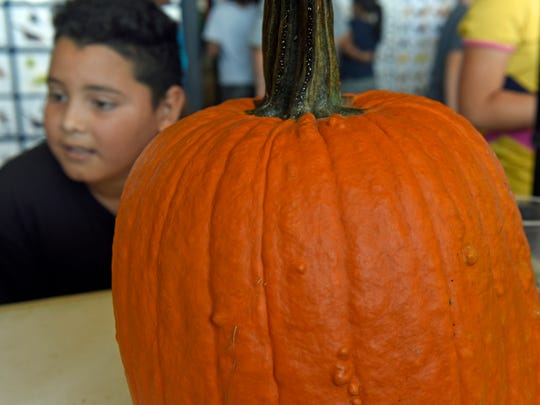 Edgar Romero, a Stevens Elementary School student, checks out pumpkins and other displays at the Franklin County Fall Farm Fest got underway on Thursday, September 22, 2016 with farm tours for area students at Valley View Farms, Antrim Township.