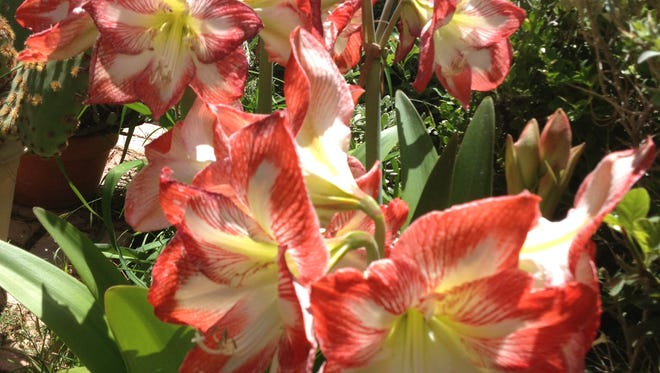 """This hardy Hippeastrum, or Amaryllis, known by its owner as """"Phyllis,"""" blooms each year in May, on the birthday of her loved one who passed away."""