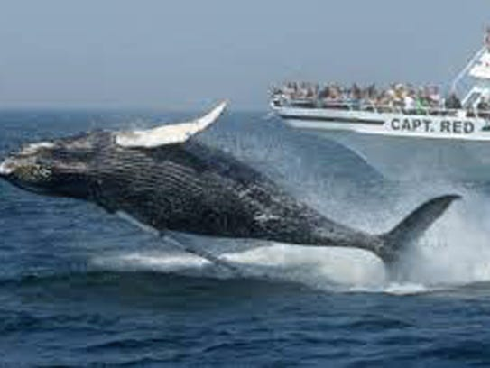 Go whale watching off Cape May for an adventurous trip