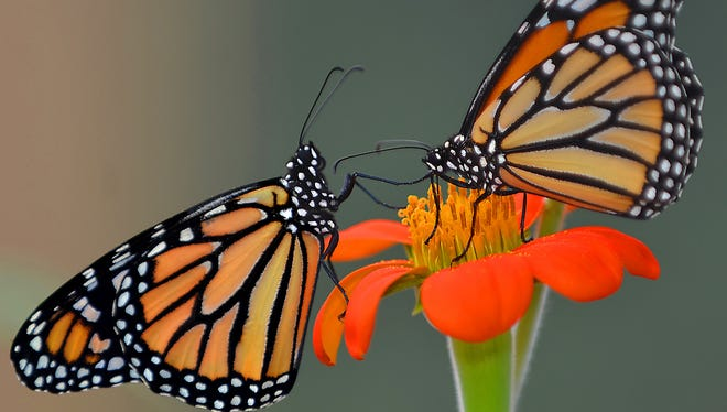 Sometimes adding pleasure to the day can be as simple as watching butterflies discover flowers in the back yard.