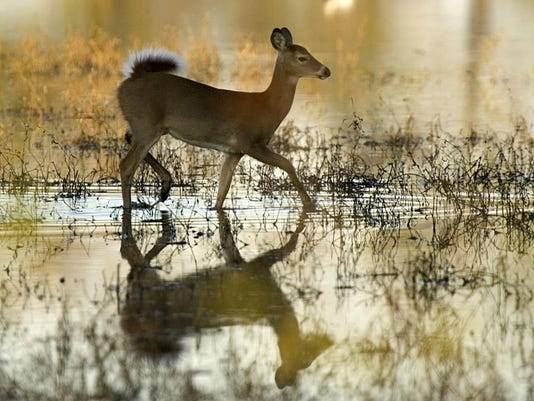 Whitetailed_deer