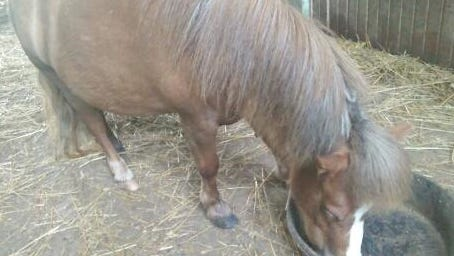 Pablo the mini-pony died after a pit bull attack.