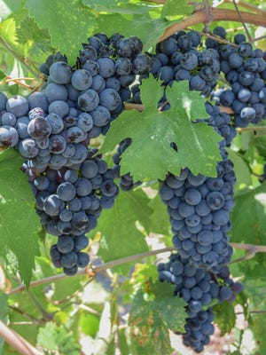Zinfandel grapes and leaves, hanging from the vine