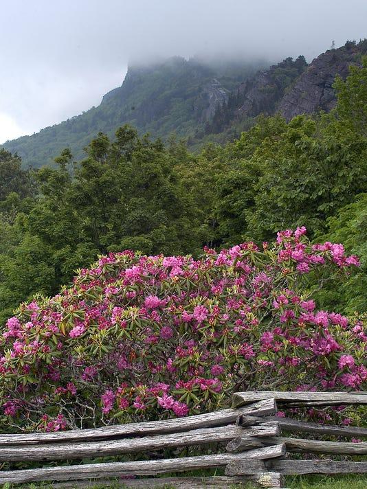 Grandfather-rhododendron-mountain.jpg