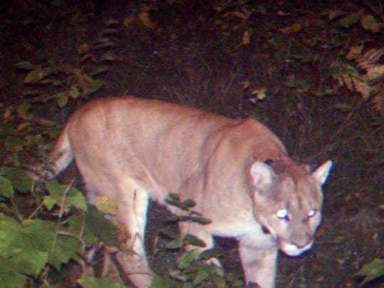 cougars michigan