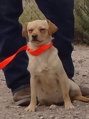 A light-colored Chihuahua dog is set to be euthanized Sunday by the Animal Service Center of the Mesilla Valley. Anyone adopting the dog Saturday would have to treat it for a heartworm condition.