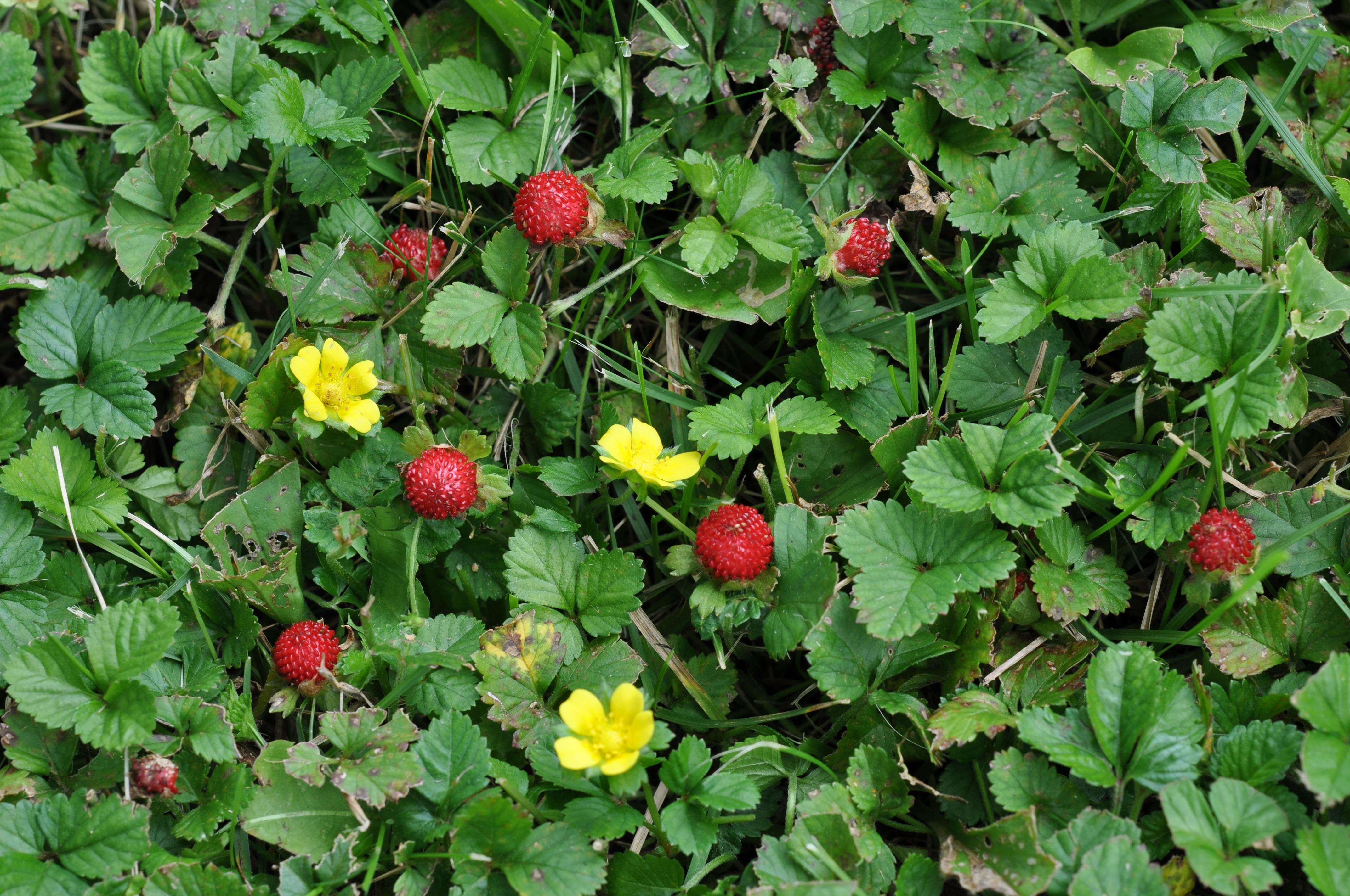 Wild strawberry: useful properties and contraindications 19